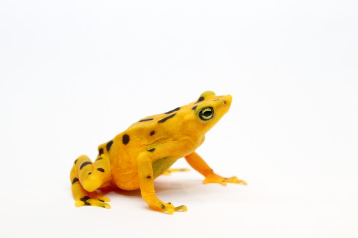 Bright yellow frog with black spots