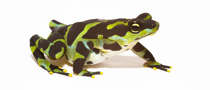 Green and black frog on white background
