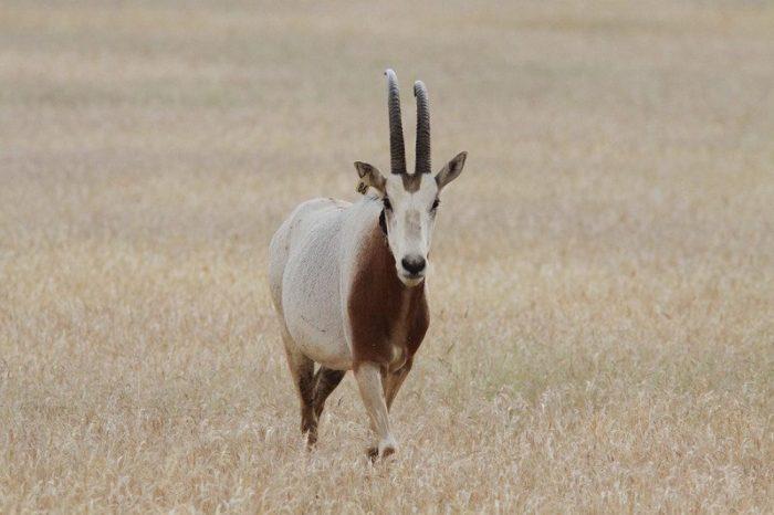 Scimitar-horney oryx