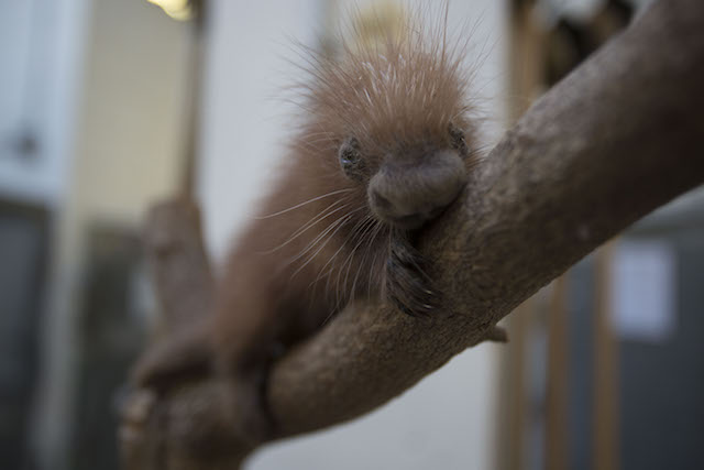 Baby porcupine clinging to branch.
