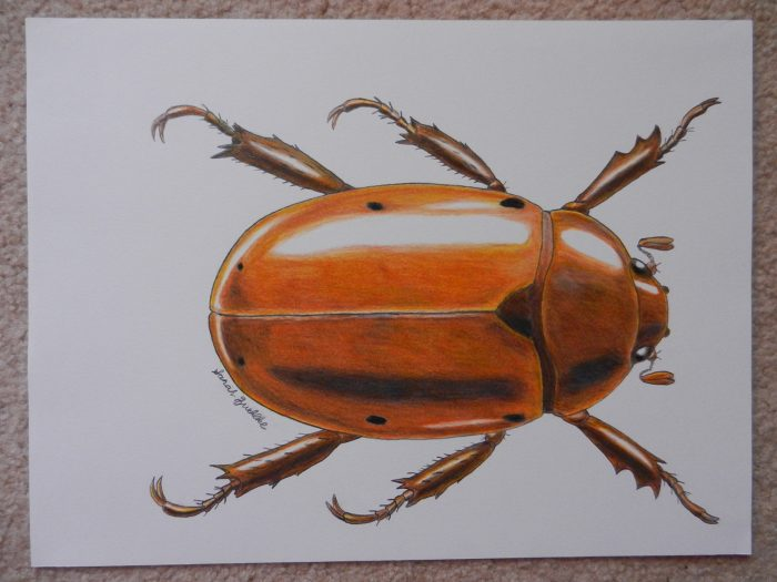 Colored pencil drawing of beetle