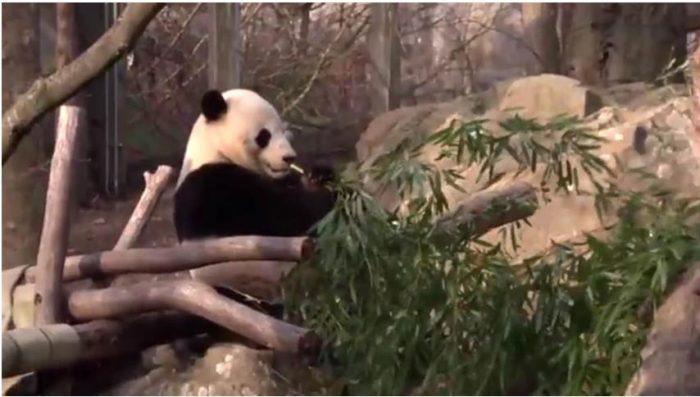 Bao Bao eating bamboo