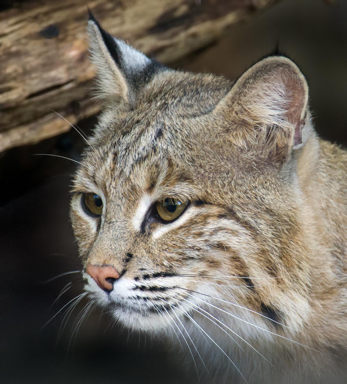 Close-up of female bobcat