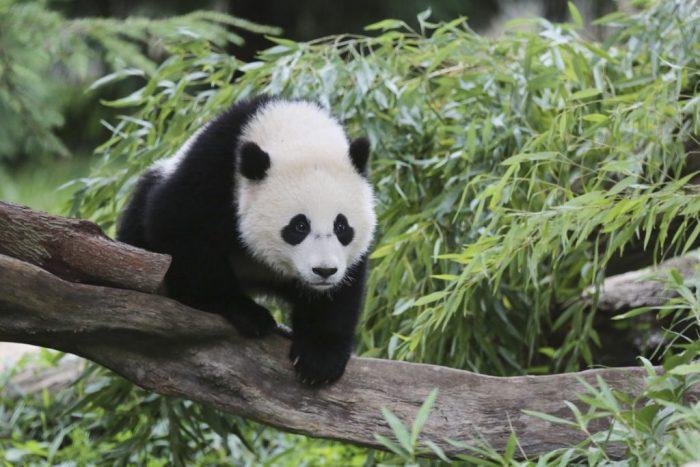 Bao Bao climbing on branch