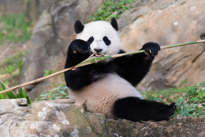 Bao Bao eating bamboo