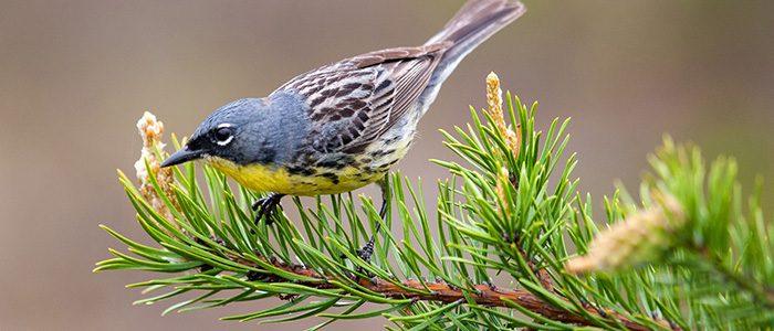 Keeping track of Kirtland's warbler