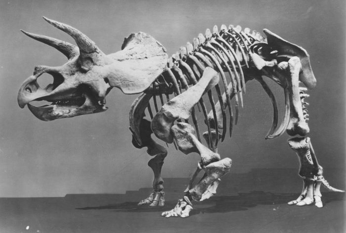 Black and white photo of Triceretops fossil