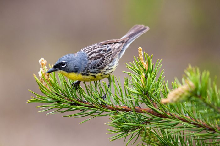 small blue and yellow bird on pine branch