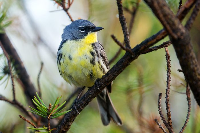 cloes-up of Kirtland warbler on branch