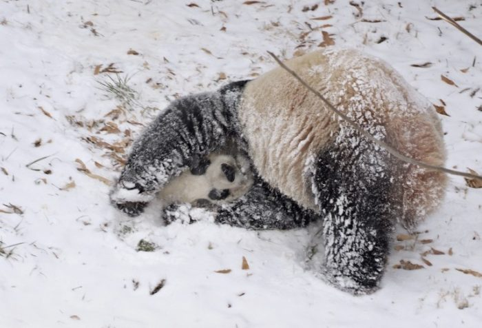 panda rolling in the snow