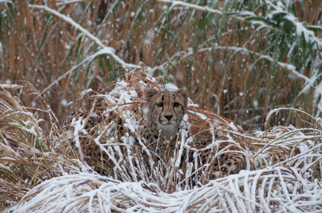 Cheetah in the snow at National Zoo