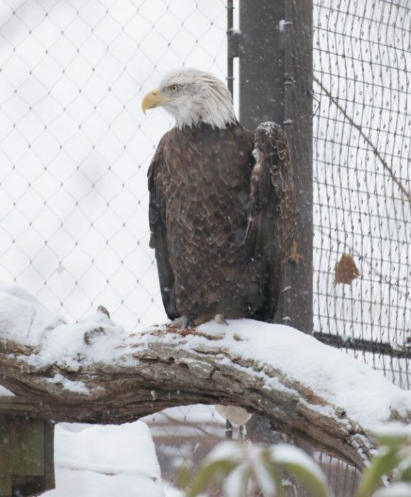 Eagle on perch in cage at National Zoo