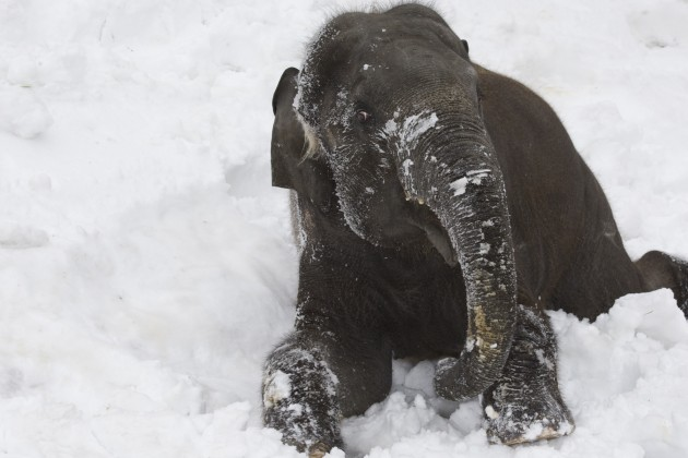 baby elephant in the snow at National Zoo