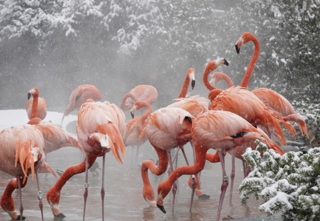 Flamingos on snowy day at the National Zoo