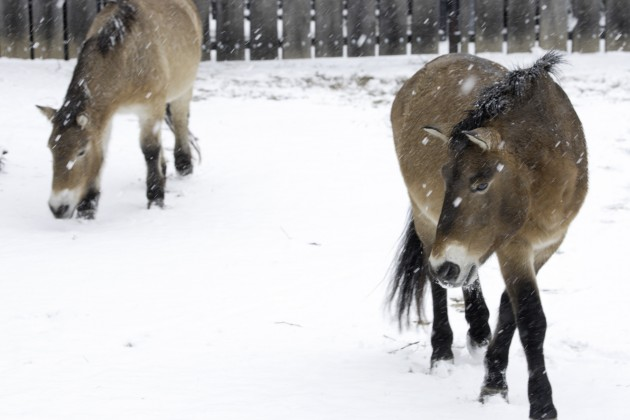 Horses in snow at National Zoo