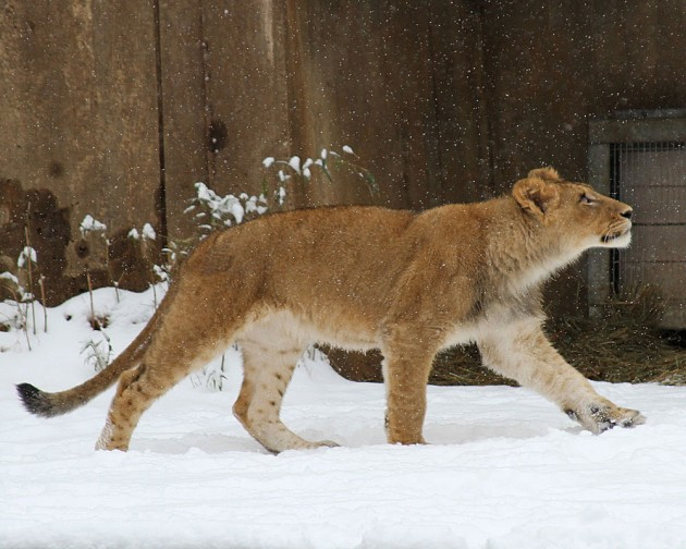 Lion in the snow at National Zoo