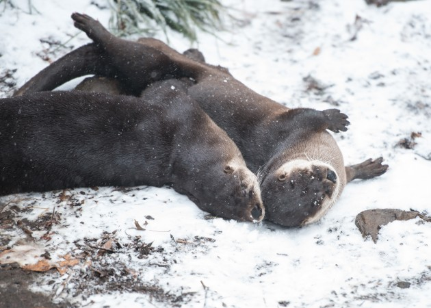 two otters rolling in the snow