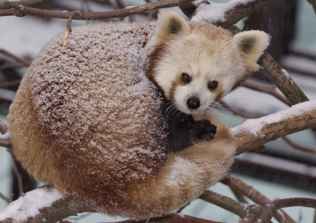 panda curled up in the snow