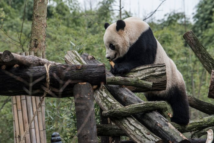 Giant panda climbing in enclosure