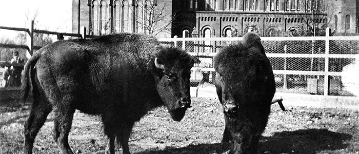 Cropped version of historic photo of bison behind the Castle