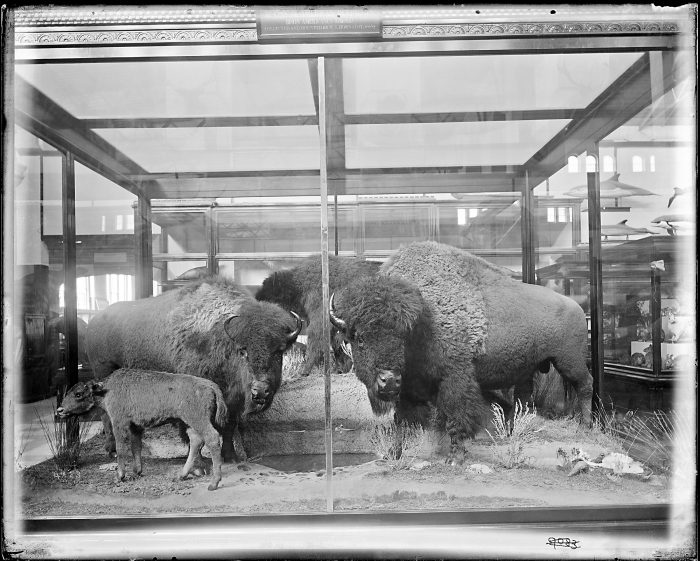 Display case with group of four taxidermy bison