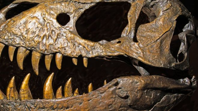 Close up of T. rex skull