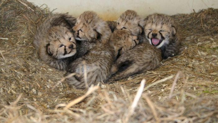 Cheetah cubs snuggled in straw