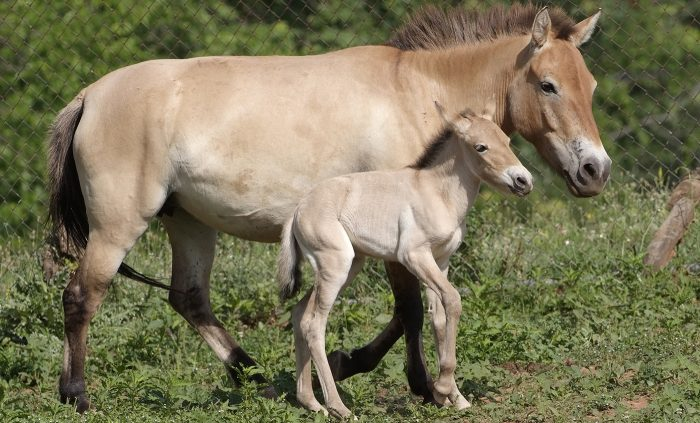Horse and colt at Conservation Biology Institute in Virginia