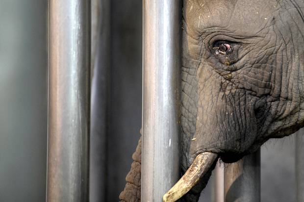 Elephant pressing against cage bars with tears coming from its eyes