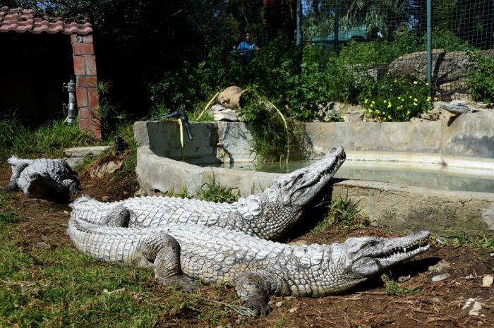 Two crocodiles in enclosure