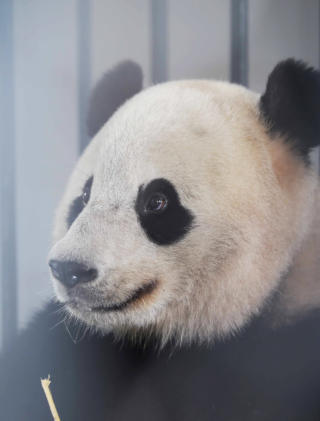Close up of Bao Bao