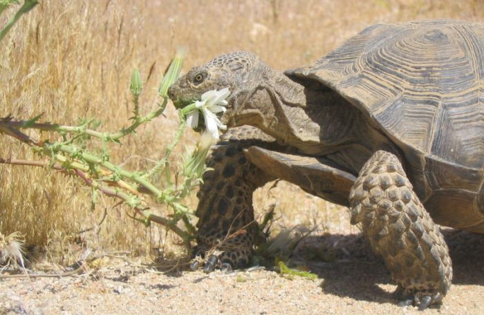 tortoise snacking on thistle