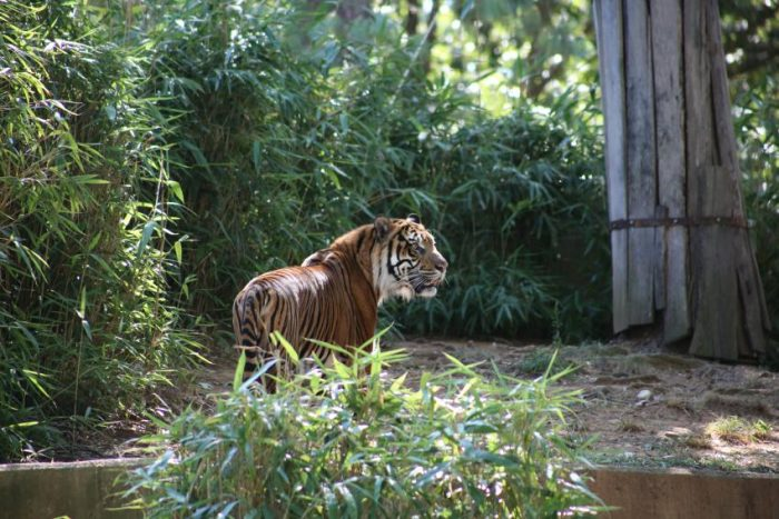 Sparky in enclosure, bamboo in background