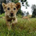 Cub approaches camera