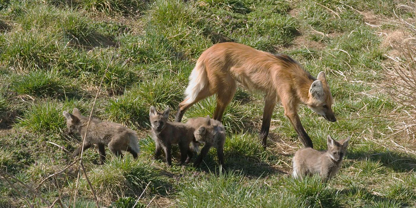 Maned wolf with four pups