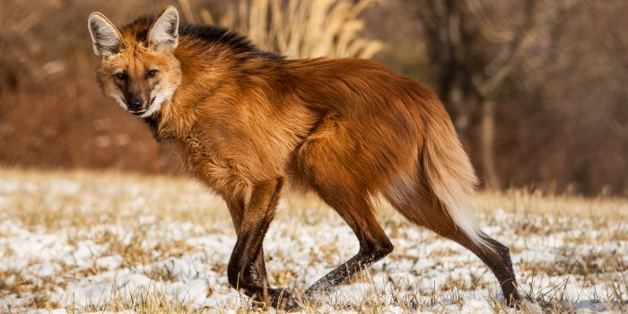 Maned wolf trotting across field with light snow cover