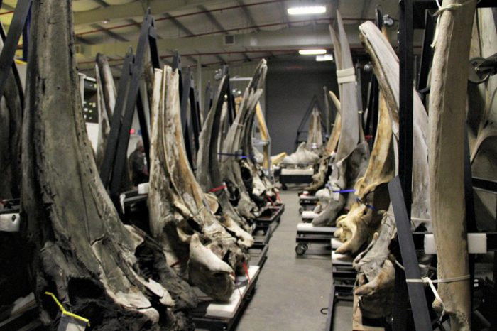 whale skulls staked in warehouse