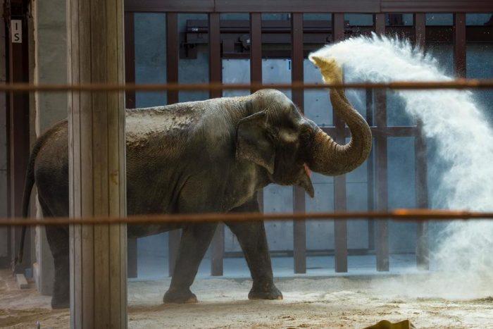 Ambika the Aisian elephant spraying dust