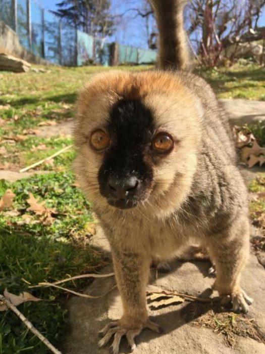 Lemur looks directly into camera