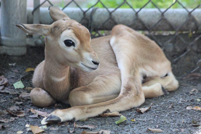 baby gazelle lying down