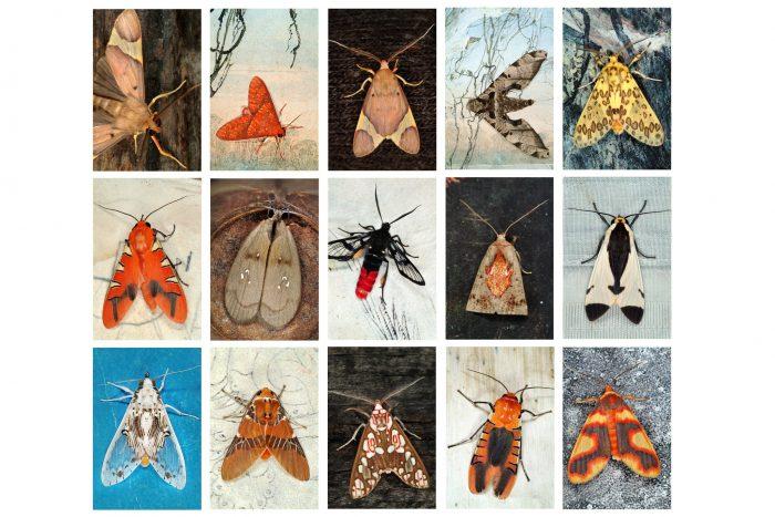 composite photo of 15 moths