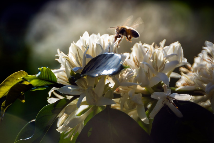 Bee hovers above white flowers