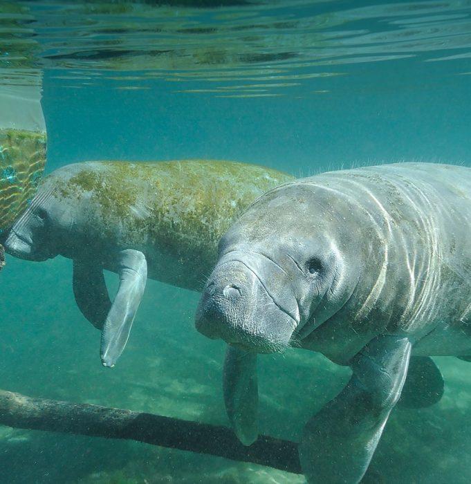 Two manatees underwater