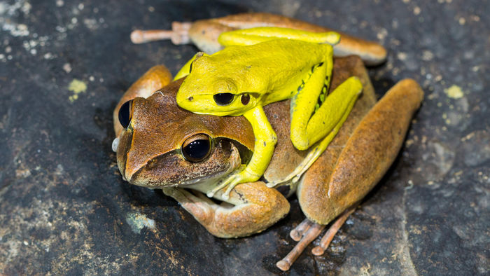 Yellow frog atop a brown one