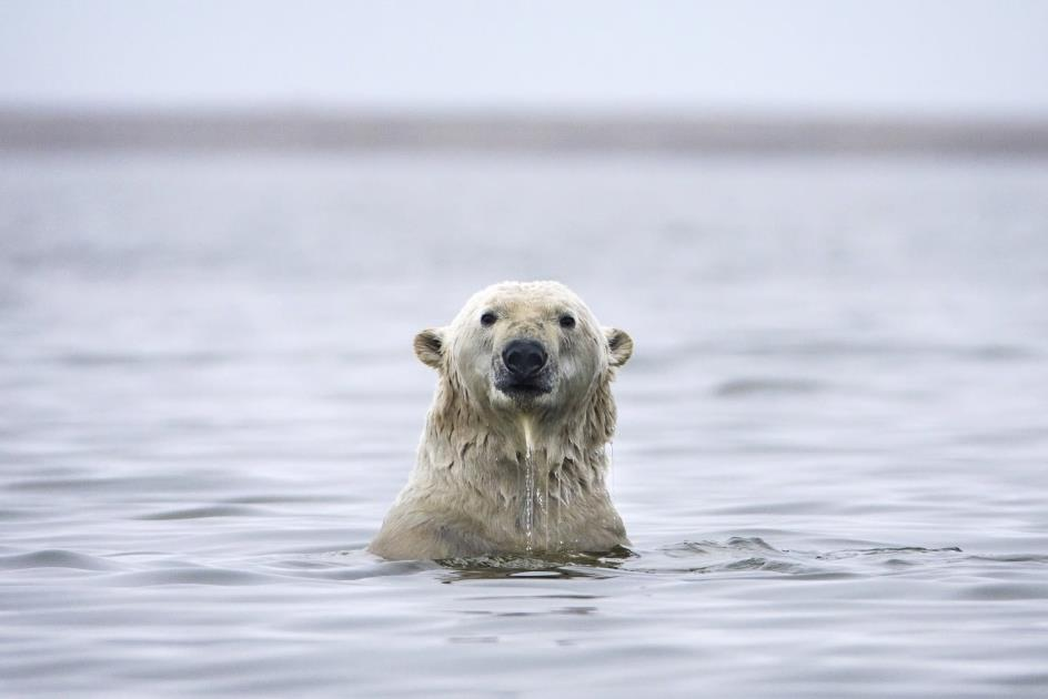 Polar bear poking head above water