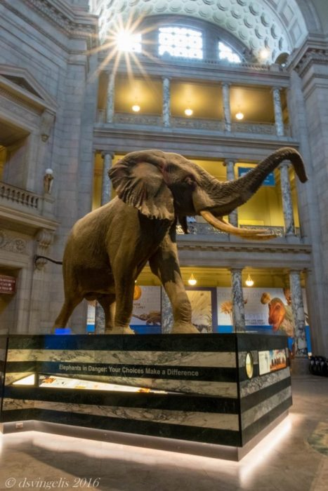 Henry the elephant in the rotunda of NMNH