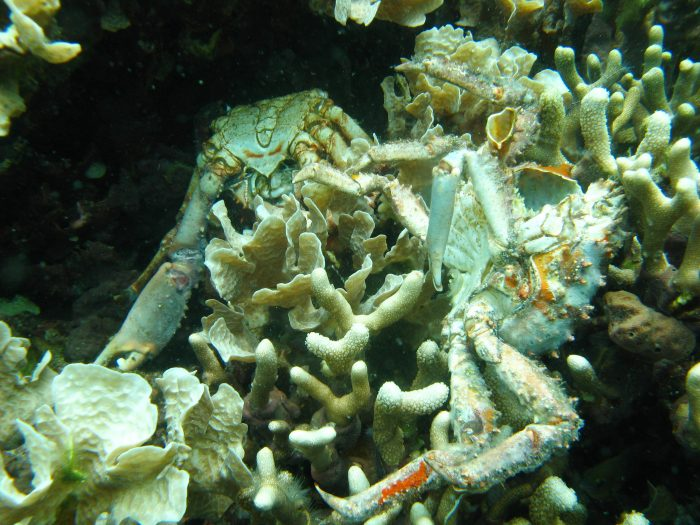 Dead coral and crabs