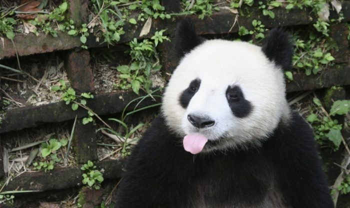 Giant panda sticking out its tongue