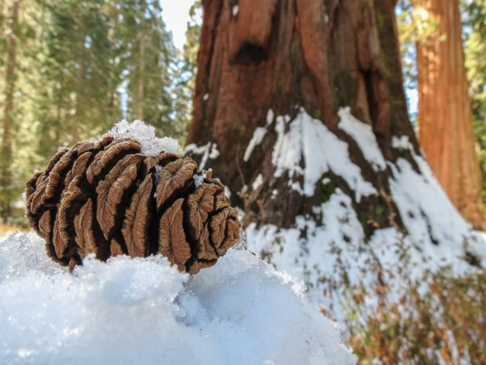 Close up of pine cone in snow