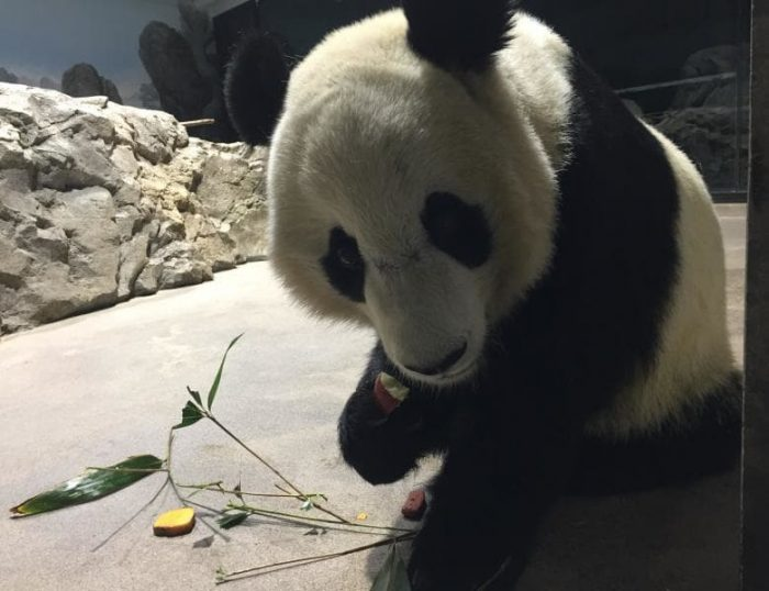Close up of panda eating